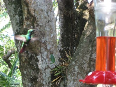 Roatan house rental - Watch the different hummingbirds while dining.