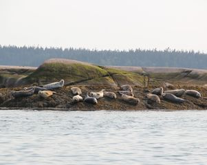 Beals - Great Wass Island cabin photo - Seals that are extremely common around the area