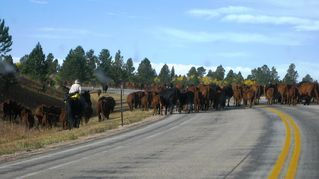 Lead cottage photo - Fall Cattle Drive between Lead and Newcastle, WY.