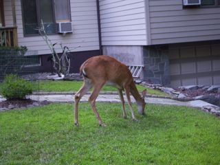 Lake Ariel house photo - Momma Deer Grazing in the Front Yard
