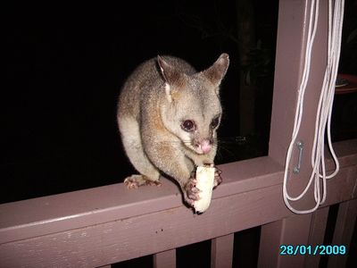 Here is our furry friendly possum