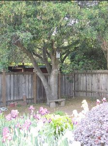 Oak Tree in back Yard