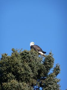 A Bald Eagle who nests in the neighborhood.