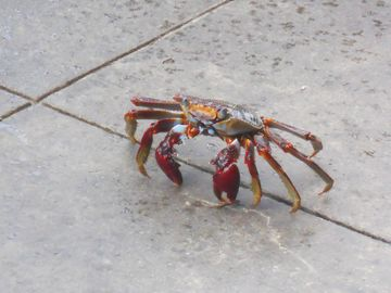 A Crab at Rum Runners Restaurant