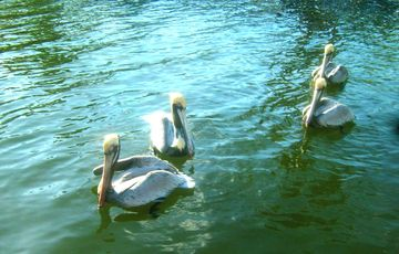 Visiting pelicans next to the dock - hoping for a gift of fish March 19th 2013.
