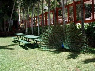 Makaha condo photo - Picnic with Beautiful Peacocks