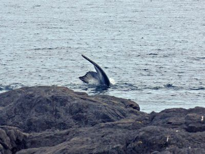 A humpback whales dives right in front of the cottage