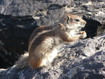 Chipmunk on sea walk