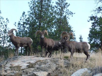 Rams at top of Rock in Backyard above Pool