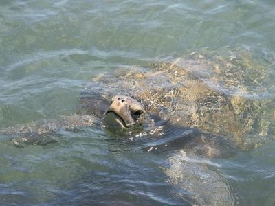 Easy turtle watching at snokel cove (pic taken from shore and within 6 feet)