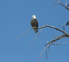 Absarokee cabin photo - Bald Eagles are sighted frequently along the local streams