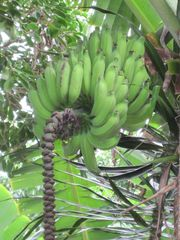 Princeville house photo - Bananas growing in the backyard