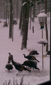 Turkeys in yard after fresh snowfall