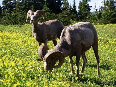 Big horn sheep grazing on glacier lillies, a bit more rare but seen on occasion.