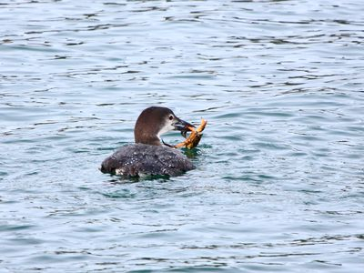 Loon Catching a Crab at Schoodic Point