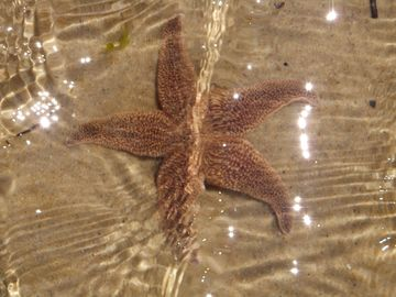 Star fish relaxing in the waters of the National Shore!