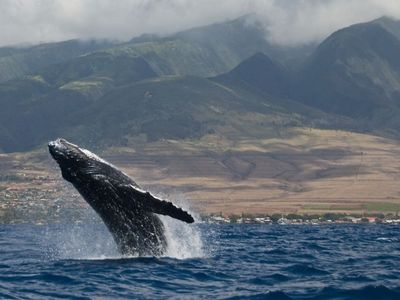 Maalaea Bay, Sanctuary to the Humpback Whales Dec. Thru Apr.