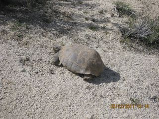 Yucca Valley house photo - Two large desert tortoises travel thru Spring and Fall for the last 30 years!