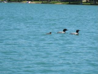 Hillman cottage photo - We enjoy the loons!
