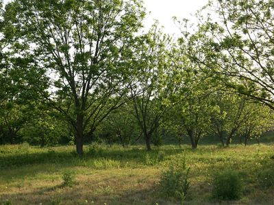Our lovely pecan orchard