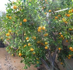 Cave Creek house photo - Fruit trees - orange and grapefruit