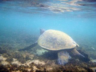 Anini Beach house photo - One of the few turtles you will see at Anini Beach