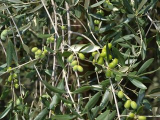 Cortona villa photo - La Colonica Olives before the harvest