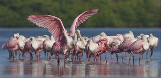 Sanibel Island condo photo - Roseate Spoonbill Flock at J.N. Ding Darling Wildlife Refuge-