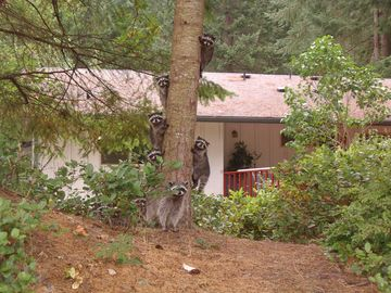 Photo of 7 young racoons and the mother in front.