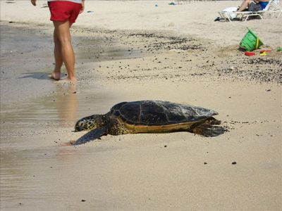 Green sea turtles are a protected species but are really easy to observe!
