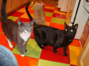 Cats in Kitchen - Greycie, Redrick and Blackness