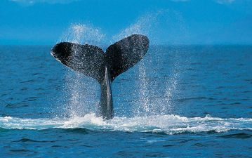Humpback Whales (in Season)