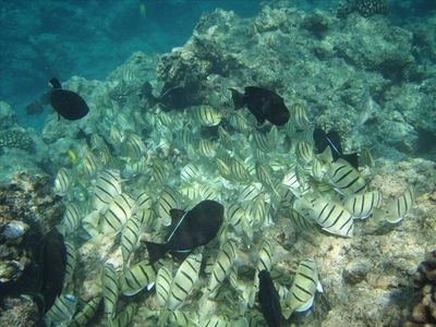 Wild Tropical Fish in La Perouse Bay