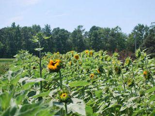 Tyaskin house photo - The Farm - Sunflowers in the Summer