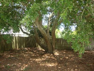 Isle of Palms house photo - Live oak tree next to pool; provides shade and great for climbing