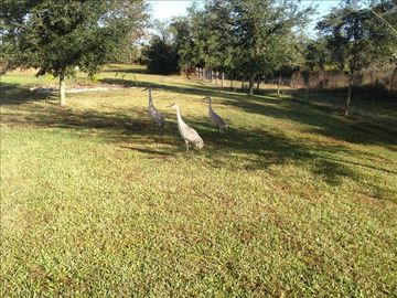 Neighborhood sand Cranes in the private back yard