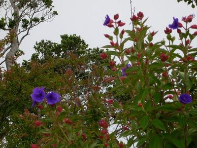 Flowers in bloom at Kokee state park