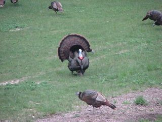 South Haven cottage photo - real wild turkeys