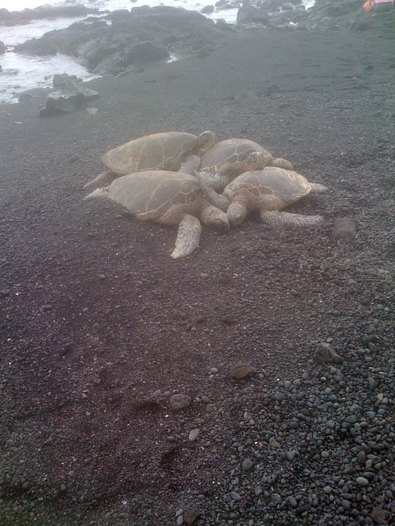 rarely seen 'pile-of-Turtles' at Punalu'u Black Sand Beach