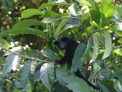 Howler monkeys are frequently heard and seen from the Casita.