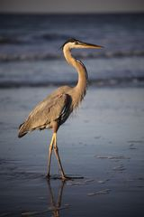 Mission Beach condo photo - A Great Blue Heron