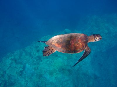 Snorkel with sea turtles along the Puako Reef.