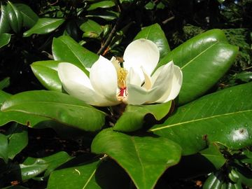 The fragrance of magnolia blossoms permeates the air in lazy summer evenings.