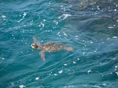 One of the honus (turtles) that visit the tourists at Hale Kona Kai