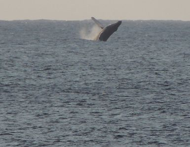 Whale breach - photo taken off house deck by former guest - thanks Perry!