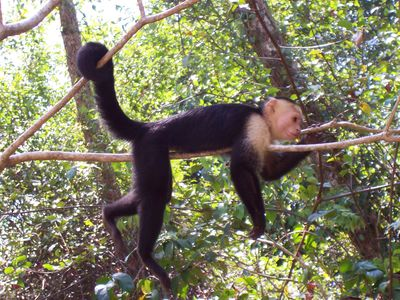 Whiteface monkey at Manuel Antonio National Park