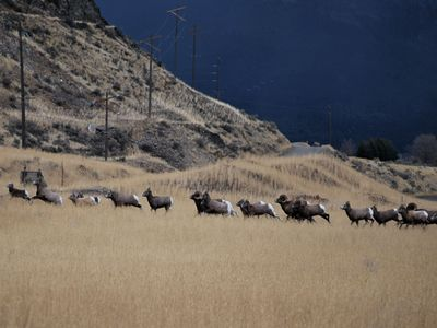 Gardiner cabin rental - Big Horn Sheep on Cinnabar Basin Road during 2011 Rut