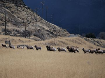 Big Horn Sheep on Cinnabar Basin Road during 2011 Rut