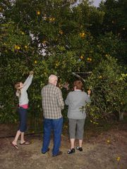 Clermont villa photo - Picking you very own oranges.