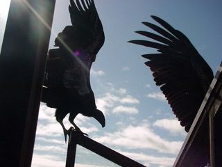 Big Sur house photo - Sometimes a condor visits!!!